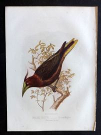 Jones & Cassell 1869 Antique Bird Print. Waglers Cassicus